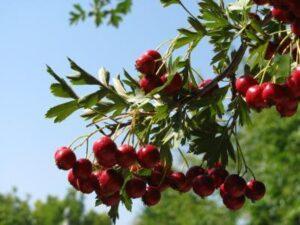 Crataegus amb fruit PK