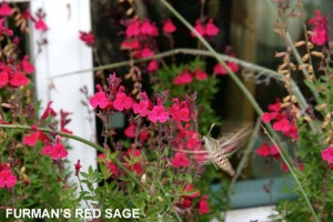 Furman's Red Sage