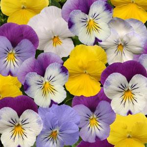 PlentiFULL Pansies