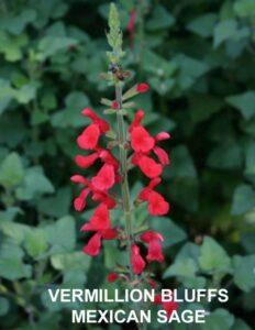 Vermillion Bluffs Mexican Sage